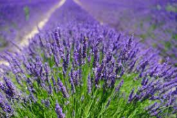lavender-oil-alison-cassidy